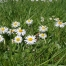 Bellis perrennis